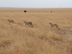 Tres guepardos